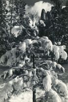 Cathedral Spire and snow covered trees, Yosemite Valley (ca. 1940) by Ansel Adams