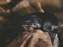 Raven Asleep beneath the Eagle Cage (2009) by Annie Marie Musselman