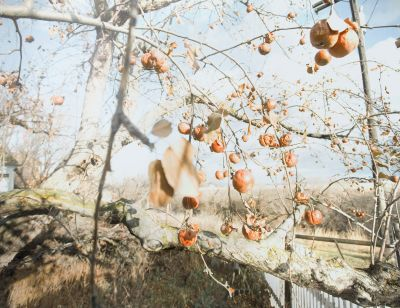 11.18.06, 6:25 am, Hillcrest (winter apples) (2006) by Raymond Meeks