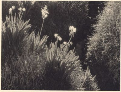 Meadow Detail, Sequoia National Park (ca. 1930) by Ansel Adams