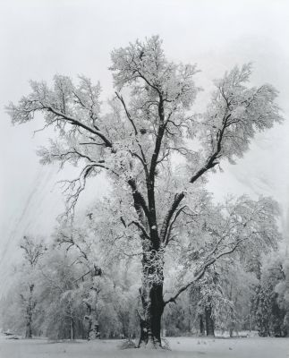 Oak Tree, Snow Storm (1948) by Ansel Adams
