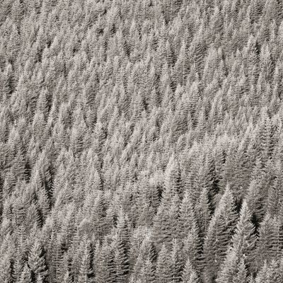 Fir Trees, Marys Peak (2007) by Jeffrey Conley