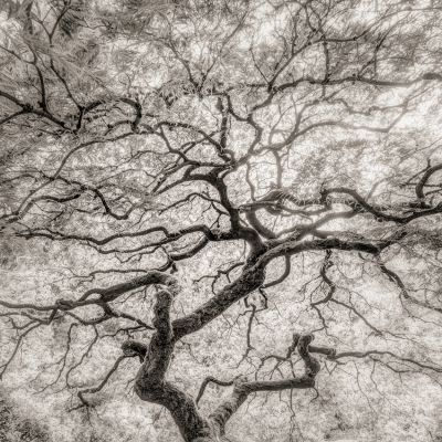 Maple Detail (2014) by Jeffrey Conley