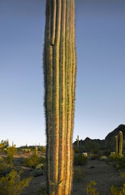 Saguaro trunk at dawn (2013) by Mark Klett