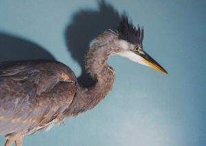Great Blue Heron (2009) by Annie Marie Musselman