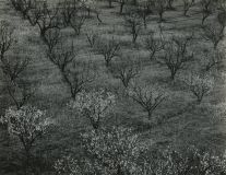 Orchard Early Spring Stanford University, CA (1940) by Ansel Adams