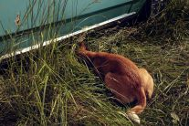 Stray Dog: Elk Rock Island (2015) by Holly Andres