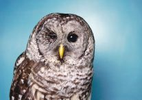 Barred Owl with Eye Damage (2010) by Annie Marie Musselman