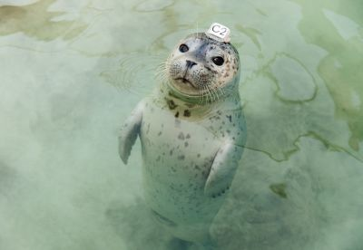 Harbor Seal C2 (2014) by Corey Arnold