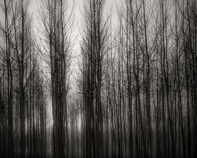 Poplars in Morning Fog, Oregon (2016) by Jeffrey Conley