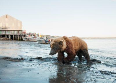 Wounded Bear Near Red Salmon (2011) by