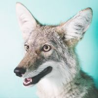 Rescued Coyote (2008) by Annie Marie Musselman