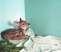 Rescued Fawn (2008) by Annie Marie Musselman