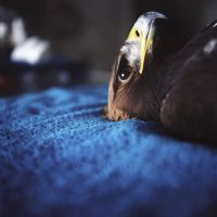 Golden Eagle in the Medroom (2009) by Annie Marie Musselman