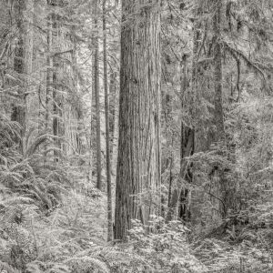 Primordial Redwood Forest (2015) by Jeffrey Conley