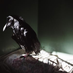 Raven in the Shadows (2008) by Annie Marie Musselman