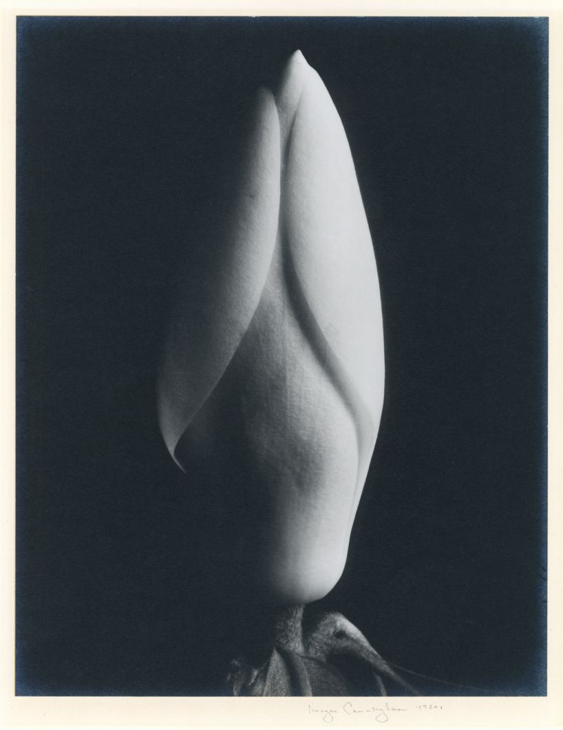 Magnolia Bud (1920s) by Imogen Cunningham