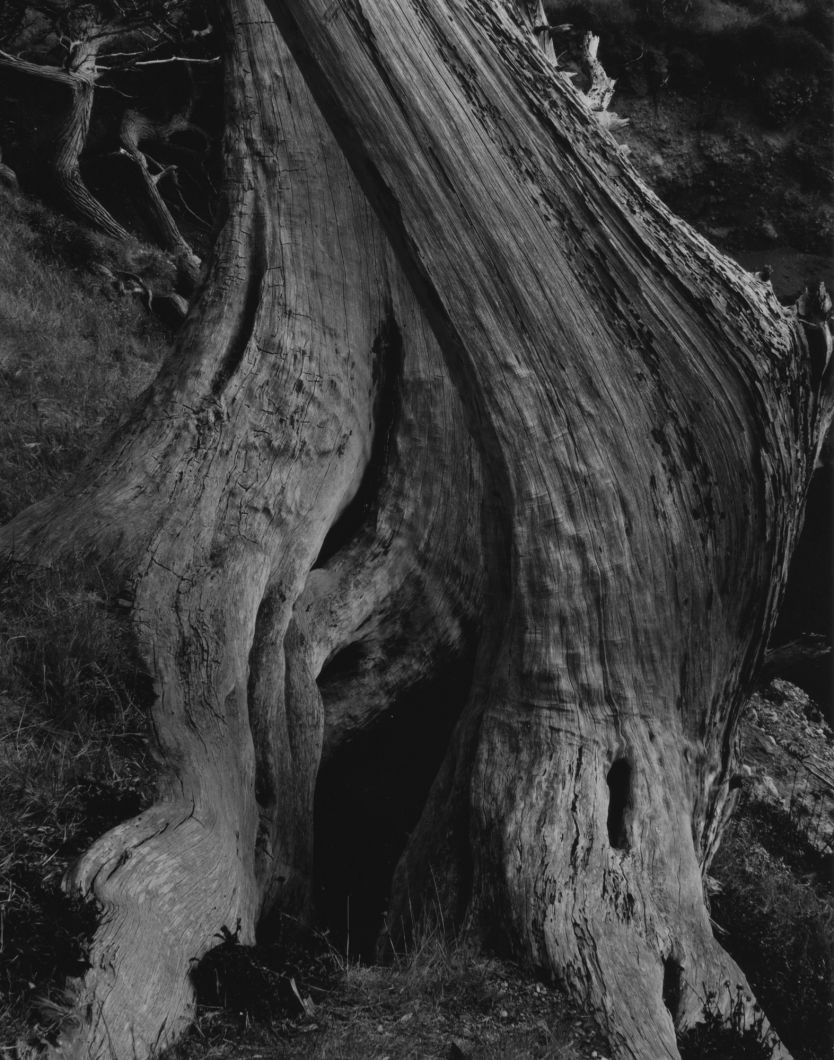 Cypress Trunk, Point Lobos (1930) by Edward Weston