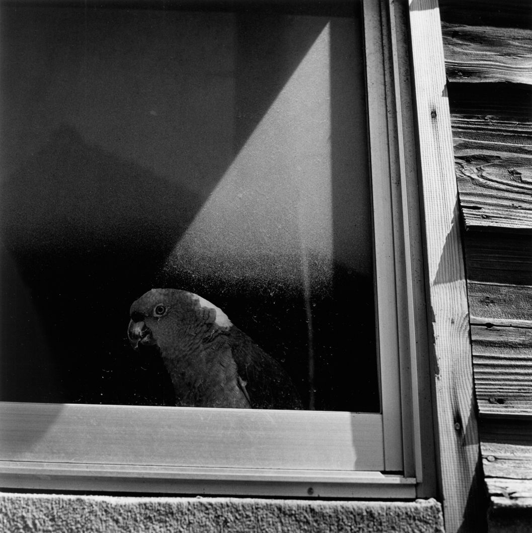 From Tokyokei (Parrot at window) (1970's - 1980's) by Issei Suda