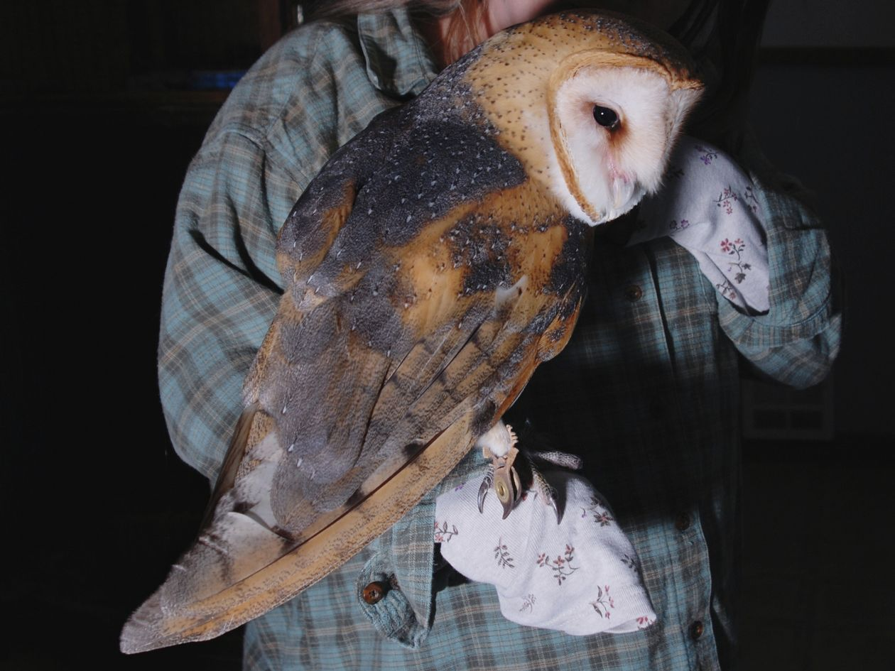 Barn Owl with a Volunteer (2008) by Annie Marie Musselman