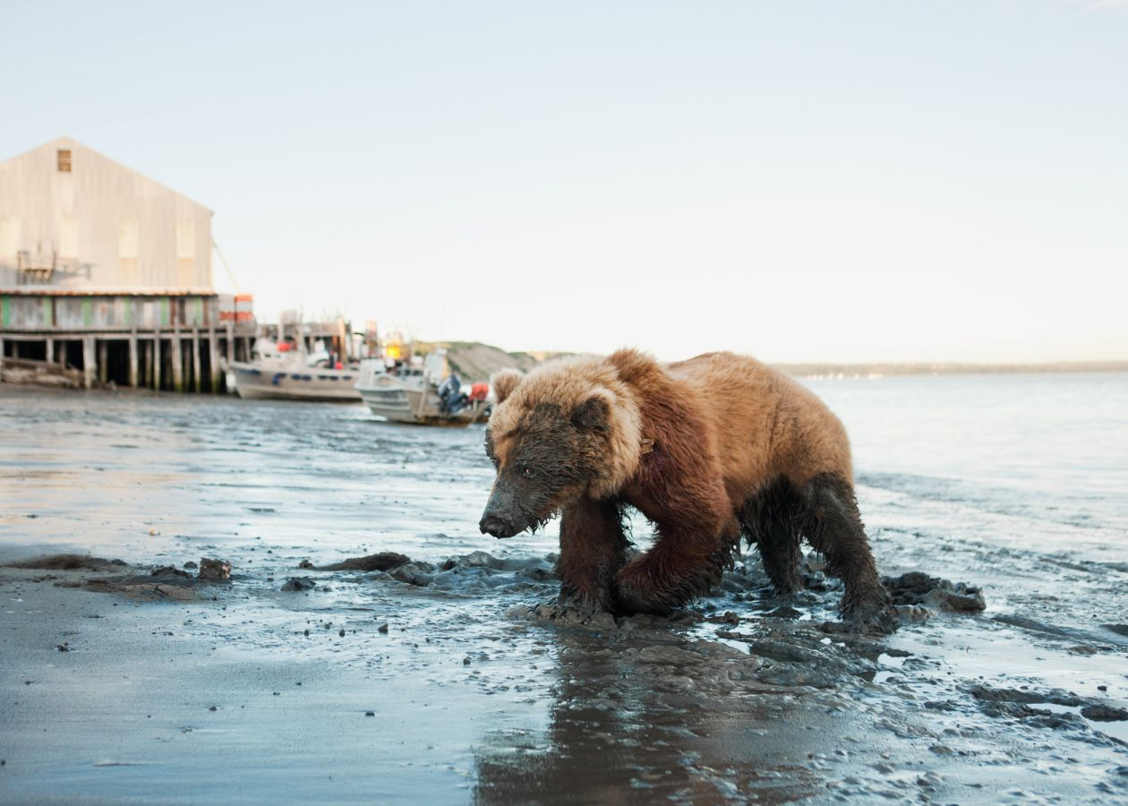 Wounded Bear Near Red Salmon (2011) by Corey Arnold