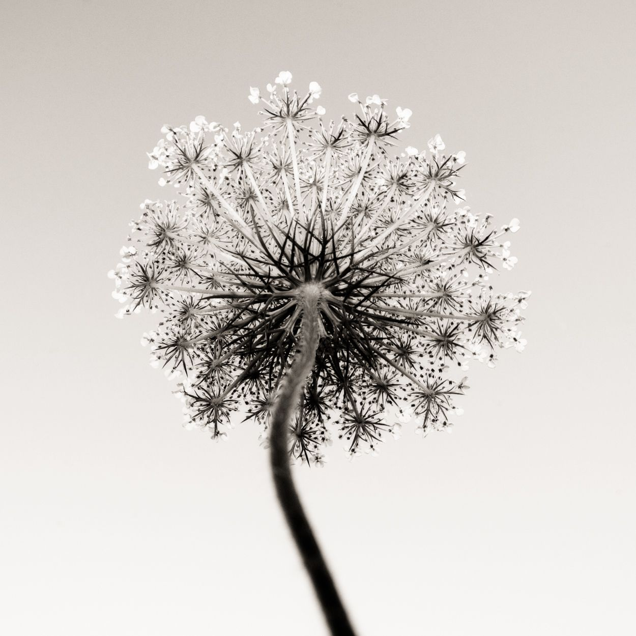 Queen Anne's Lace (2007) by Jeffrey Conley