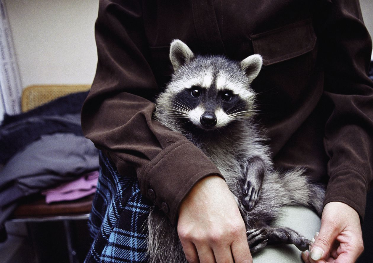 Raccoon Sitting on Robert's Lap with My Coat (2009) by Annie Marie Musselman
