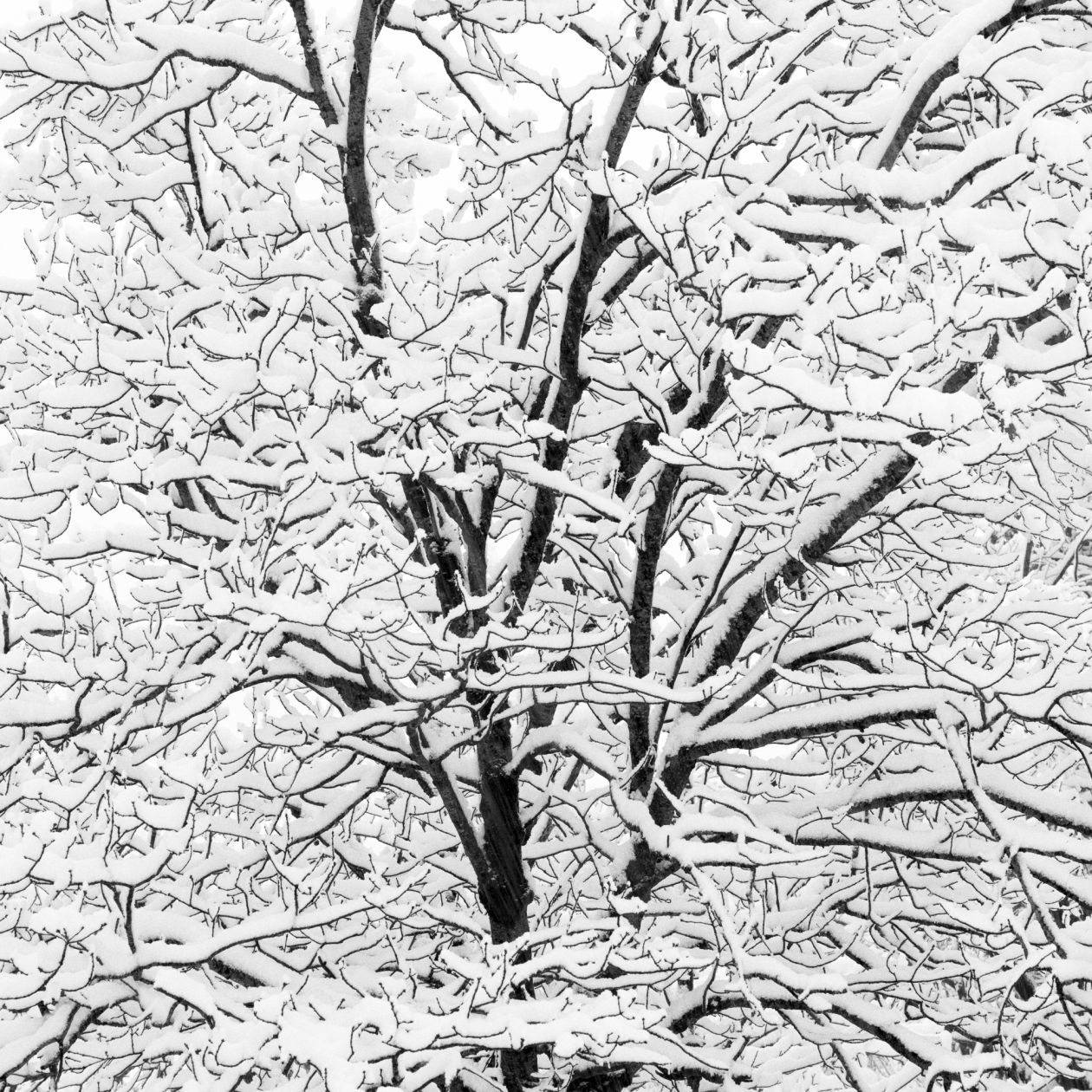 Snow Covered Branches (2005) by Jeffrey Conley