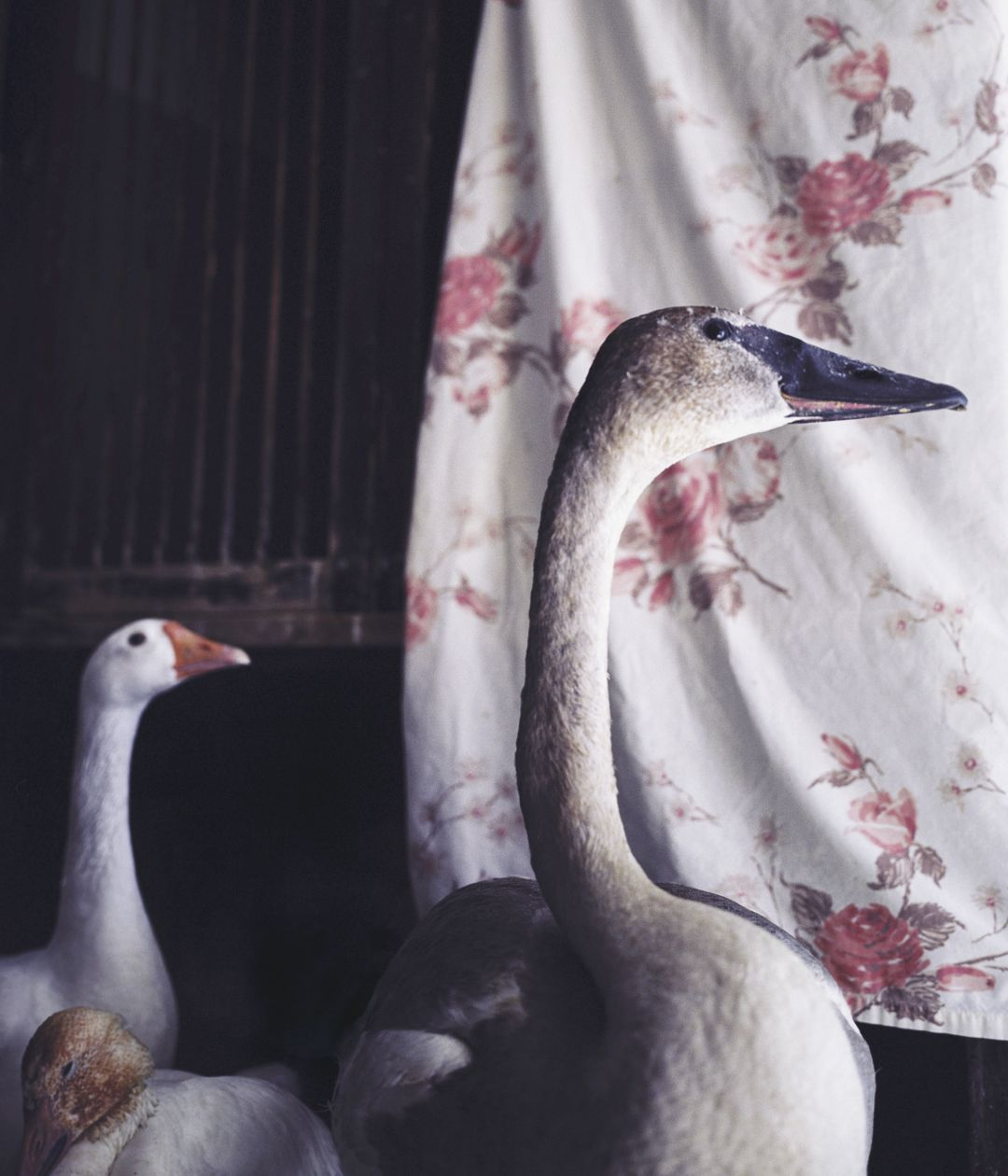 Trumpeter Swan with Friends (2008) by Annie Marie Musselman