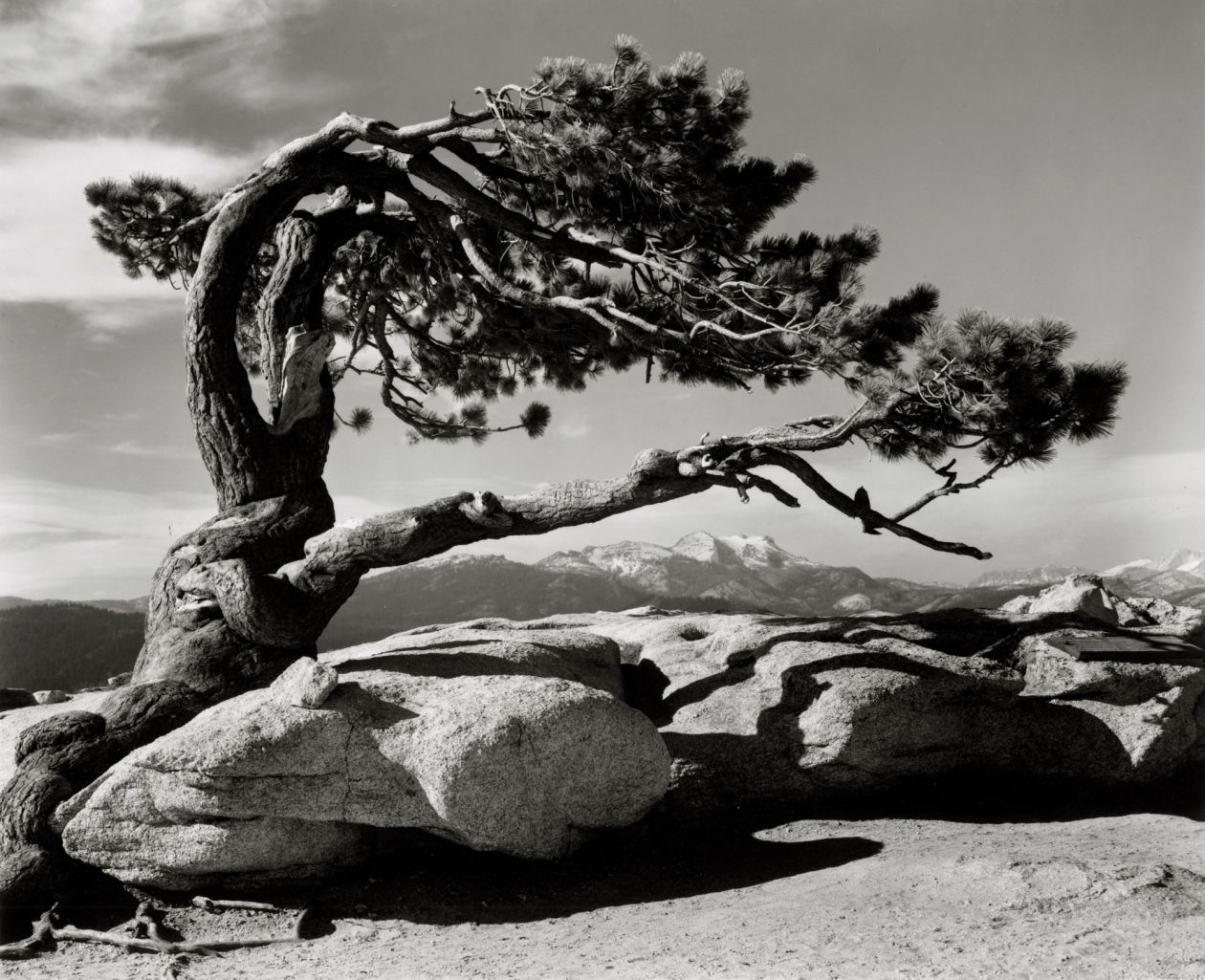 Jeffrey Pine, Sentinel Dome, Yosemite National Park, California (c. 1945) by Ansel Adams