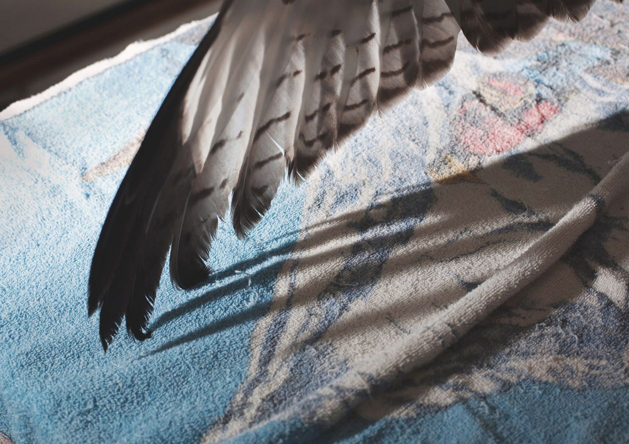 Red-tailed Hawk Wing during Examination (2010) by Annie Marie Musselman